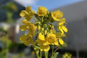 小松菜の黄色い花