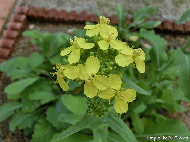小かぶの花