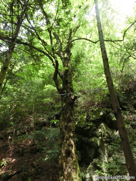 金剛山の大阪府指定天然記念物「千早のトチノキ」