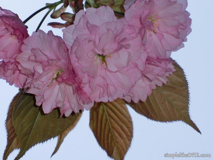 金剛山葛木神社の桜