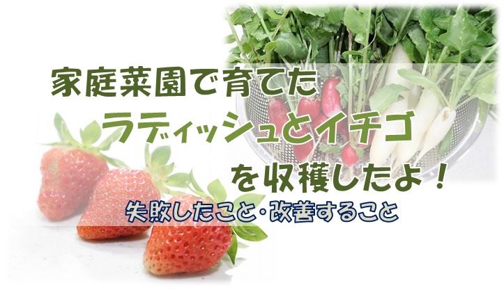 ラディッシュとイチゴを収穫