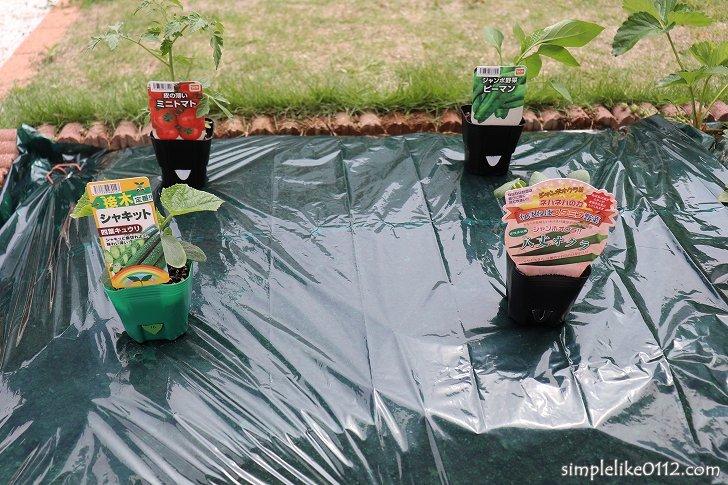 家庭菜園に苗を植える