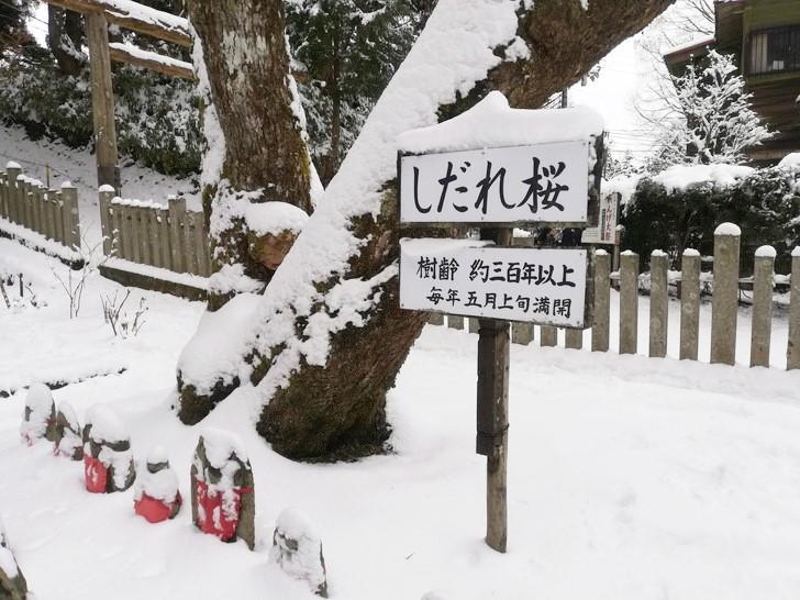 冬の金剛山・樹齢300年しだれ桜の樹氷