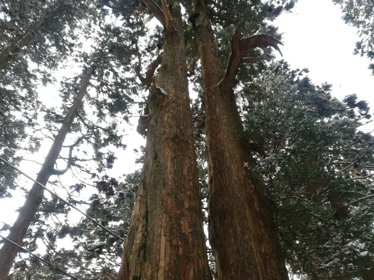 冬の金剛山・雪が積もる夫婦杉