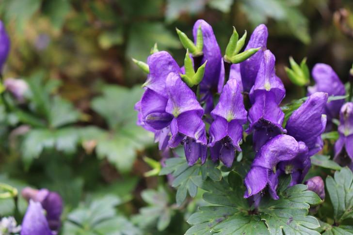 四国剣山の植物「トリカブト」